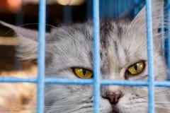 Maine Coon im Katzenkäfig lizenzfreies stockfoto