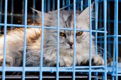 Maine Coon im Katzenkäfig lizenzfreie stockbilder