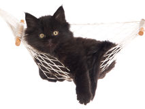 Maine Coon inside white hammock Royalty Free Stock Photo