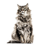 Maine Coon. Isolated on white Royalty Free Stock Photography