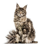 Maine Coon Royalty Free Stock Photo
