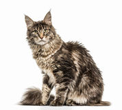 Maine Coon isolated on white Royalty Free Stock Photography