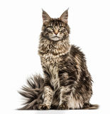 Maine Coon isolated on white Royalty Free Stock Images