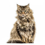 Maine Coon isolated on white Stock Photography