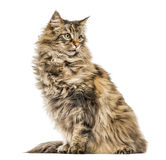 Maine Coon isolated on white Royalty Free Stock Image