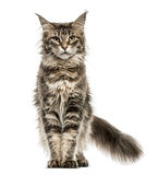 Maine Coon isolated on white Stock Image