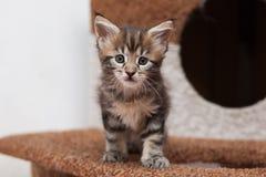 Maine Coon-Kätzchen Lizenzfreie Stockfotografie