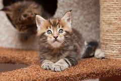 Maine Coon-Kätzchen Stockfotografie