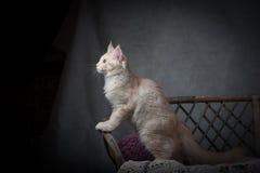 Maine Coon-Kätzchen Stockfotos