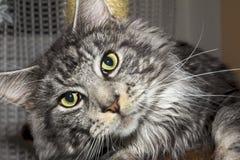 Maine Coon-Kätzchen Lizenzfreies Stockbild