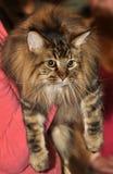Maine Coon katt Arkivfoton