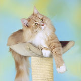 Maine Coon katt på en skrapande stolpe Arkivfoto