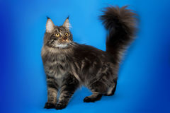 Maine Coon katt på studiobakgrund Fotografering för Bildbyråer