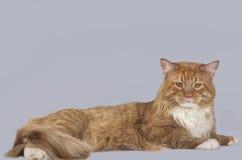 Maine Coon katt som är åt sidan Royaltyfri Foto