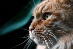 Maine Coon kattnärbild i profil Arkivbild