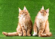 Maine Coon kattungar Royaltyfria Bilder