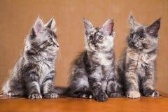 Maine Coon kattungar arkivbild