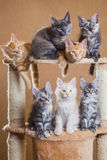 Maine Coon kattungar arkivfoto