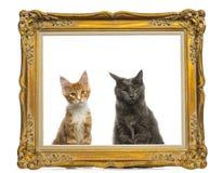 Maine Coon kattungar som sitter bak en guld- ram för tappning Royaltyfri Fotografi