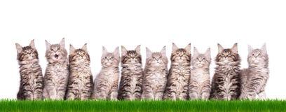Maine Coon kattunge i gräs arkivfoton