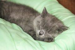 Maine Coon kattungesömn under filten avelbritish kattunge royaltyfri bild
