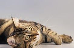 Maine Coon kattvuxen människa som från sidan ligger Royaltyfria Bilder