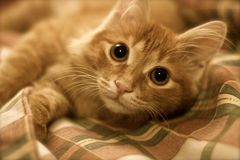 Maine Coon-Katze auf dem Bett Stockbilder
