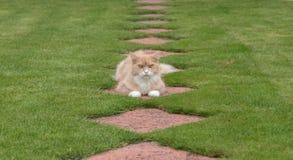 Maine Coon-Katze, die im Garten liegt Stockbild