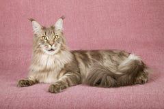 Maine Coon-Katze, die sich auf malvenfarbenem Hintergrund hinlegt Lizenzfreie Stockfotografie