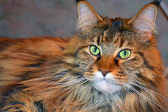 Maine Coon-Katzengesichtsabschluß oben Stockbild