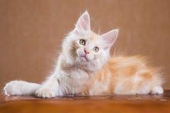 Maine Coon kitten Stock Image