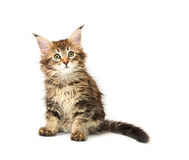 Maine coon kitten Stock Images