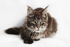 Maine Coon Kitten Royalty-vrije Stock Afbeeldingen