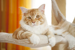 Maine Coon Kitten royaltyfria foton