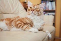 Maine Coon Kitten imagenes de archivo