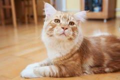 Maine Coon Kitten fotografía de archivo