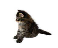 Maine coon kitten. One month old maine coon kitten isolated on white background Royalty Free Stock Image