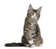 Maine coon kitten, 4 months old Stock Photography