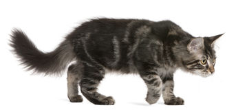 Maine Coon kitten, 4 months old, walking Stock Image