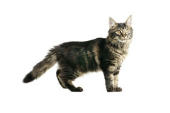 Maine coon kitten. Isolated on white background Royalty Free Stock Image