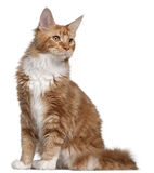 Maine Coon kitten, 7 months old Royalty Free Stock Photos