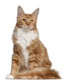 Maine Coon kitten, 7 months old Royalty Free Stock Images