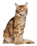 Maine Coon kitten, 9 months old, sitting Stock Photos