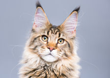 Free Maine Coon Kitten Royalty Free Stock Images - 98143979