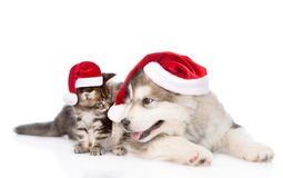 Maine coon kitten and alaskan malamute puppy in red santa hats. isolated on white Royalty Free Stock Images