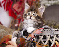 Maine Coon kitten. On autumn background Royalty Free Stock Photos