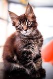 Maine Coon kitten on black table Stock Photography