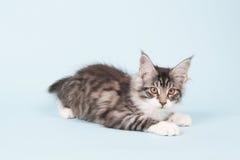 Maine coon kitten on blue Stock Photo