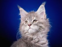 Maine Coon kitten on blue. Funny Maine Coon kitten 2 months old looking away. Close-up studio photo of gray little cat on blue background. Portrait of beautiful Stock Photos