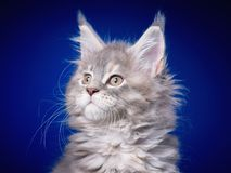 Maine Coon kitten on blue. Funny Maine Coon kitten 2 months old looking away. Close-up studio photo of gray little cat on blue background. Portrait of beautiful Royalty Free Stock Image